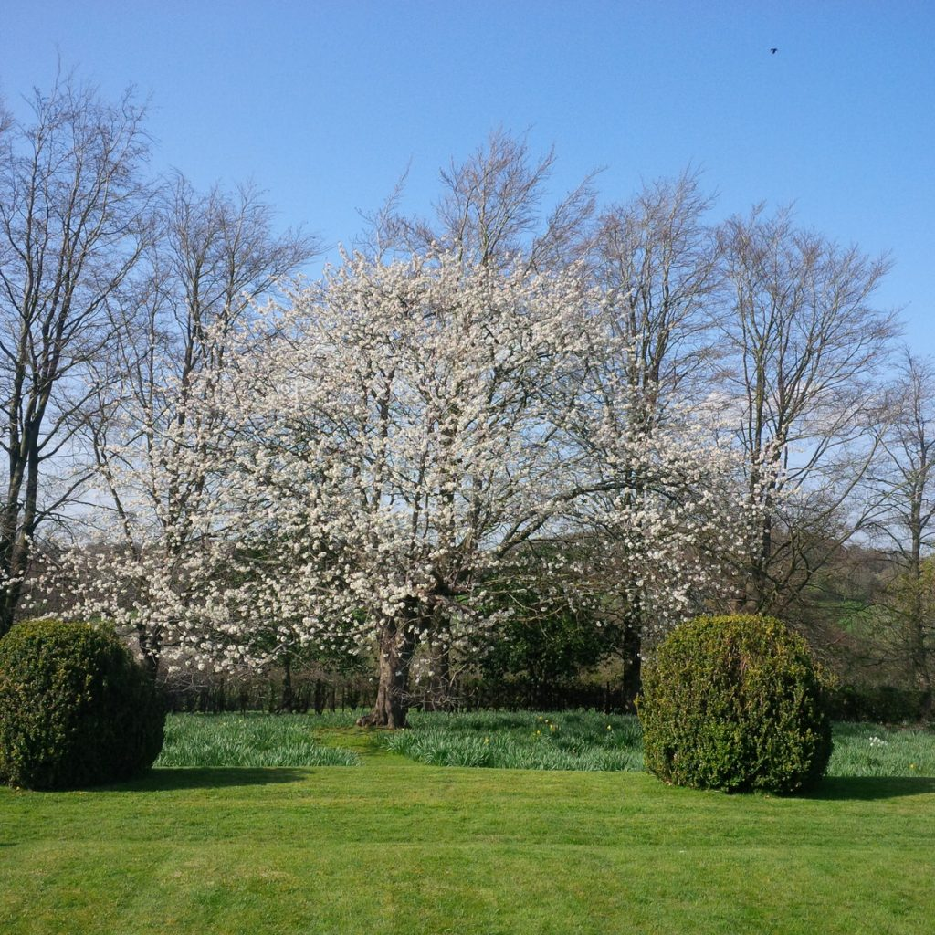 A large cherry tree laden with blossom
