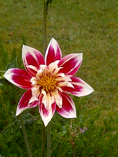 Red and white single-flowered dahlia