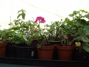 Pelargoniums inside for the Winter