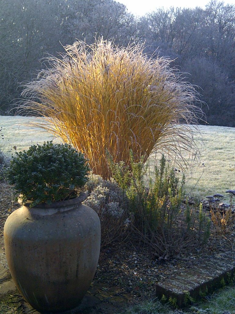 A large miscanthus grass covered in frost in the morning sun