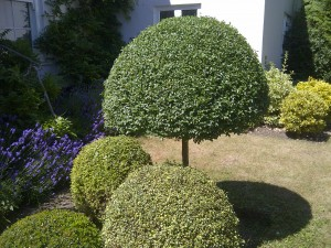Neatly clipped topiary