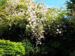 Pale pink rambling rose in full bloom