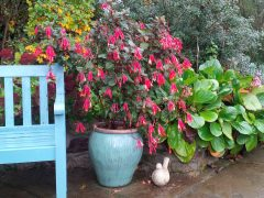 Large fuchsia in a pot giving some late summer colour