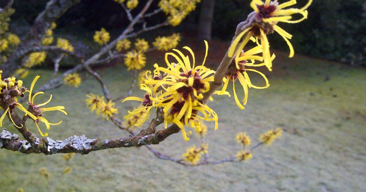 A witch hazel tree in bloom