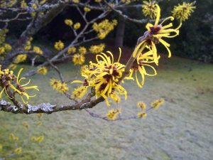 A witch hazel tree in bloom