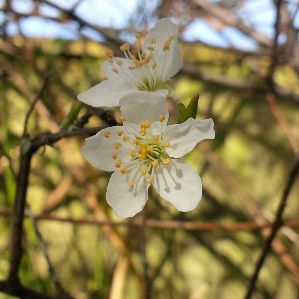 First of the blackthorn blossom